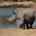 Salvando un Rinoceronte a la vez