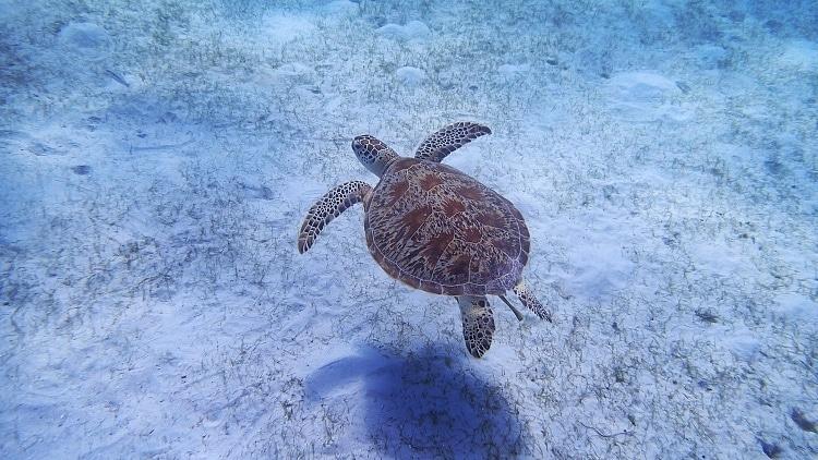 Tortuga de mar en la mejor playa del sudeste asiatico